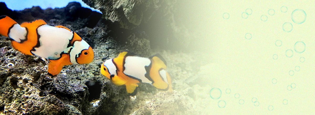 一般熱帯魚から、レッドビーシュリンプ、ピンポンパールなどの金魚、海水魚、水草などの販売。爬虫類、両生類も居ます。